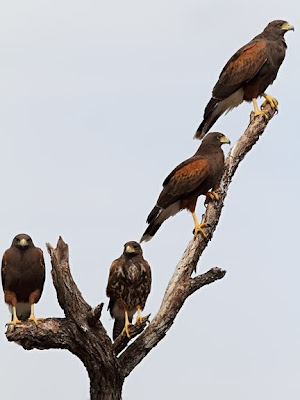 Harris Hawk Family