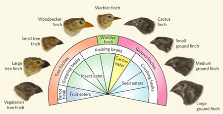 finches beaks on the galapagos islands evolution pdf