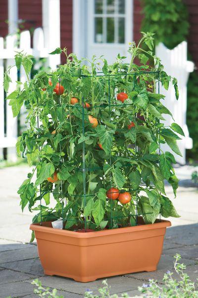 coltivare pomodori in vaso o nell 39 orto cucina green
