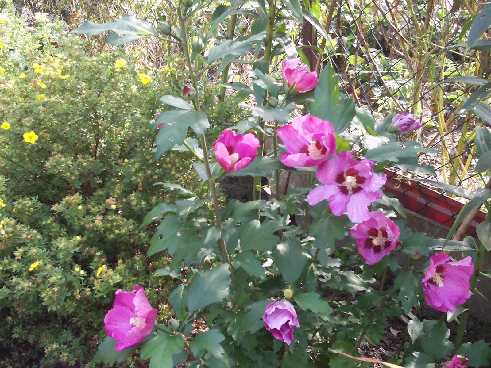 gartenhibiskus hibiscus syriacus pink giant gartenelfe. Black Bedroom Furniture Sets. Home Design Ideas