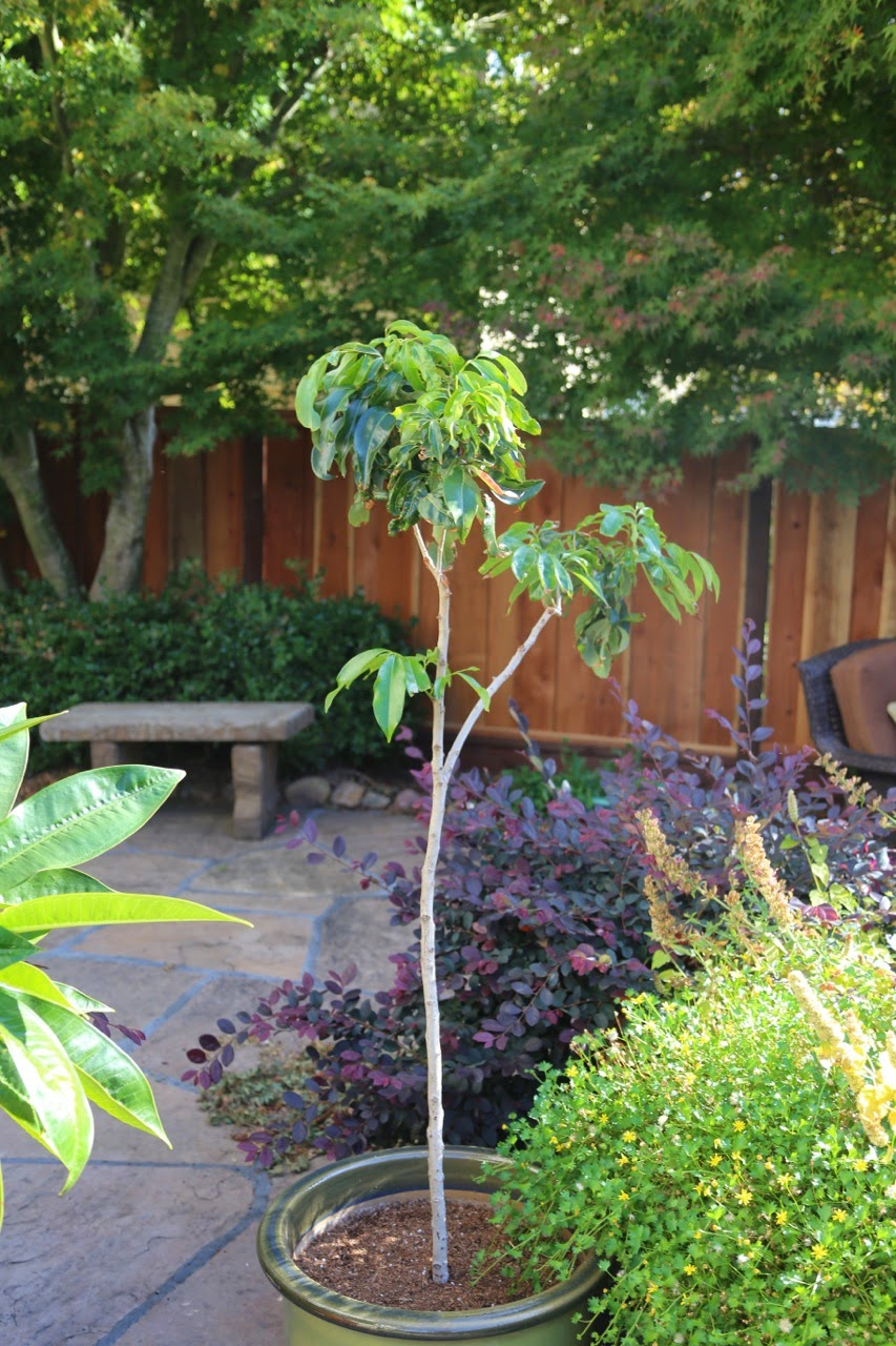 Good Fruit Trees For Backyard : good year for the potted tropical fruit trees  Backyard Citrus (and