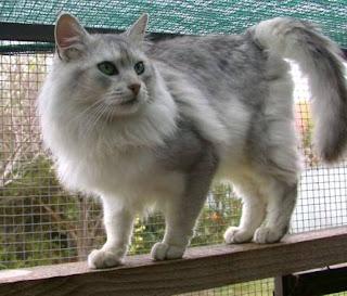 Somali Cat Pictures