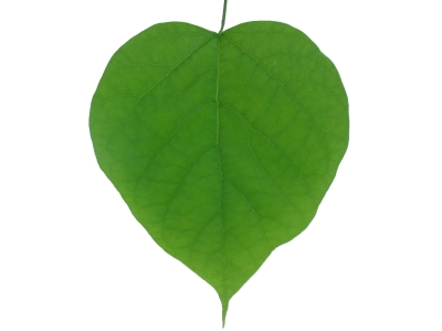 the world s tree species heart shaped tree leaves