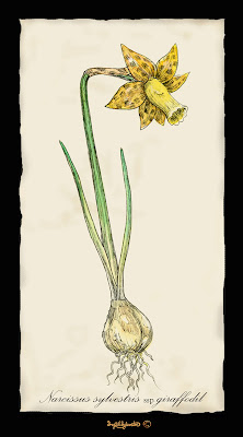 Narcissus sylvestris ssp. giraffodil Ingrid Sylvestre