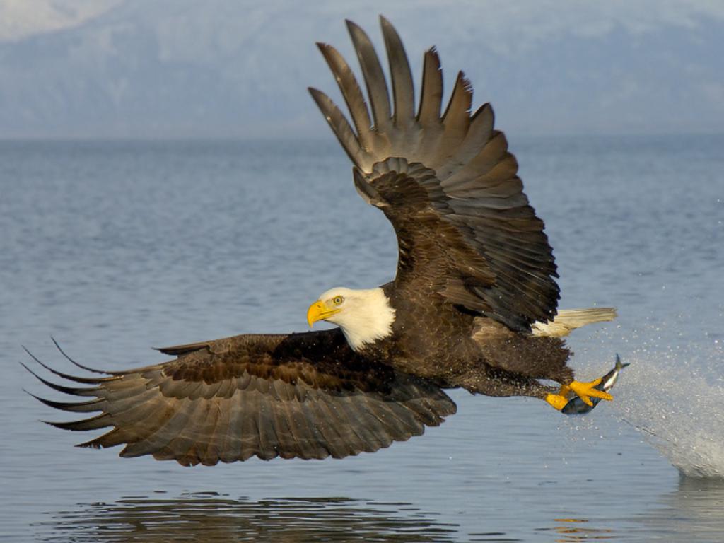 http://1.bp.blogspot.com/-vL_xmplhtG0/Ty1VlZlSatI/AAAAAAAAJD4/z5maqRieVnM/s1600/Bald_Eagle_Fishing_Wallpaper__yvt2.jpg