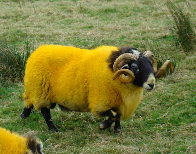 long horn sheep with bright yellow wool