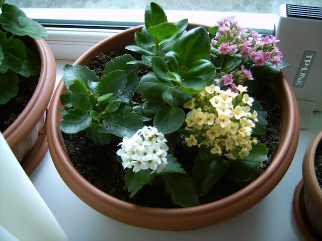 Каланхоэ белые цветы фото