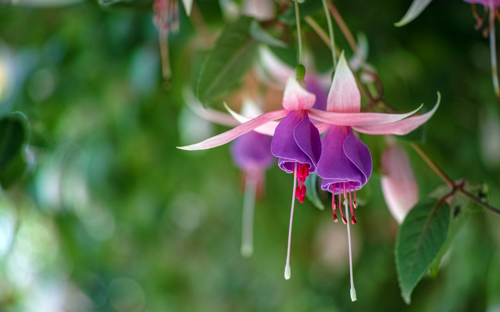 Beautiful Fuchsia Flowers Mystery Wallpaper