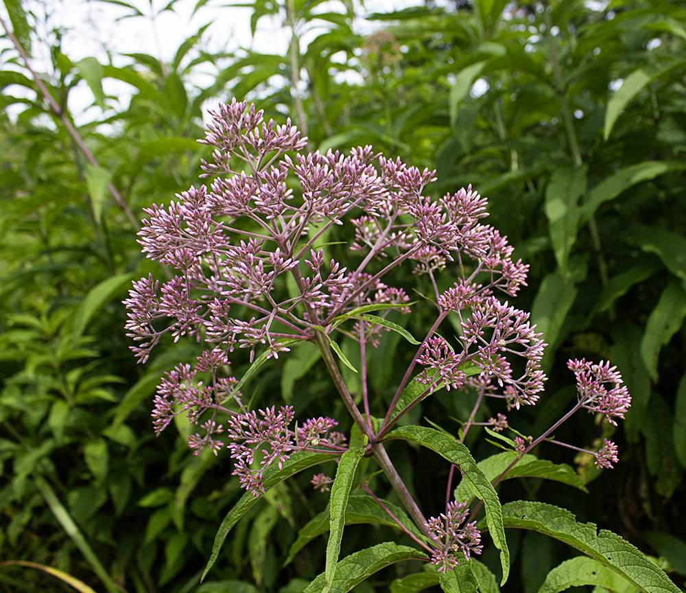 Rurification eupatorium or eutrochium for Joe pye weed