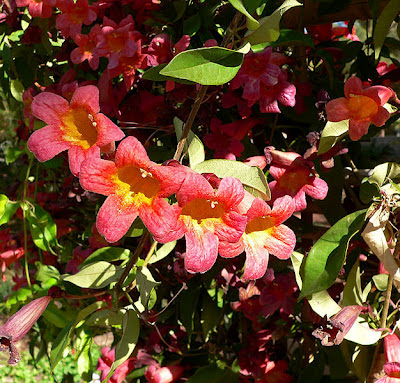 photograph of a crossvine in bloom