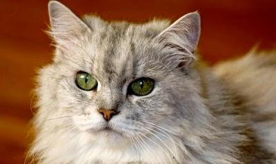 jenis-makanan-berbahaya-bagi-kucing_23154