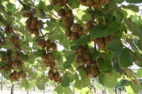 Orto per tutti piante da frutto for Piante da frutto nord italia
