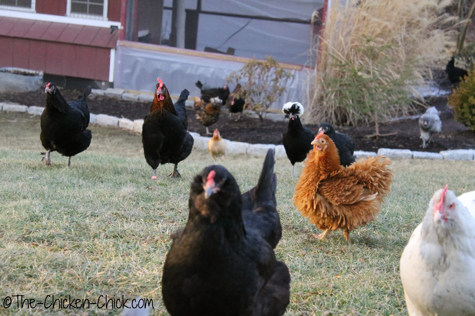 Some of my flock members, enjoying a pre-snow stroll