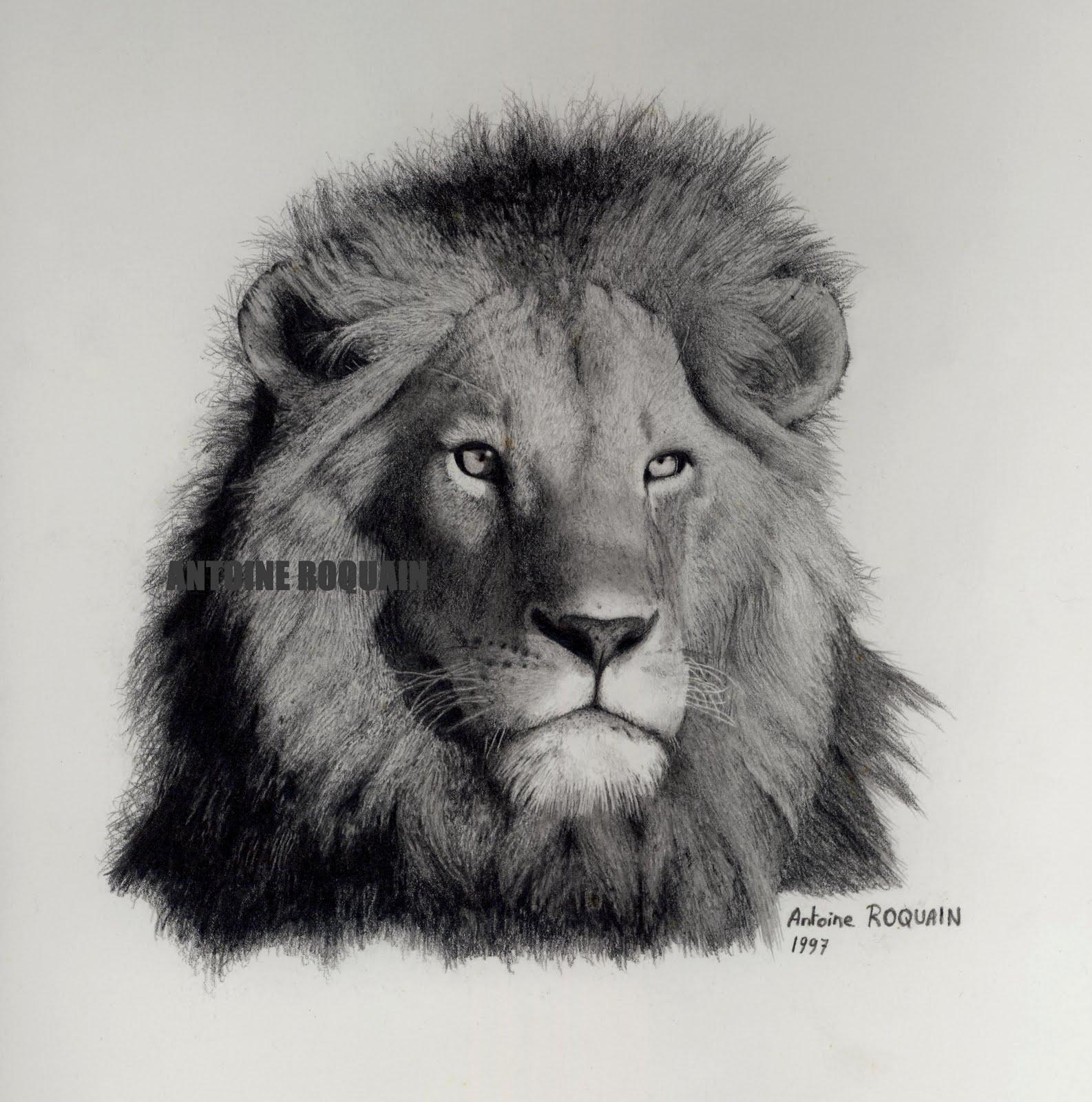 Antoine roquain dessin animalier wildlife pencil art petit dessin de lion - Comment dessiner un lion ...