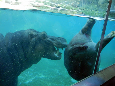 Hippo under water fun