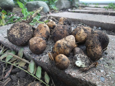dug up potatoes, garden