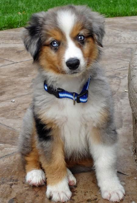 miniature australian shepherd | Nemo the Miniature Australian Shepherd Pictures