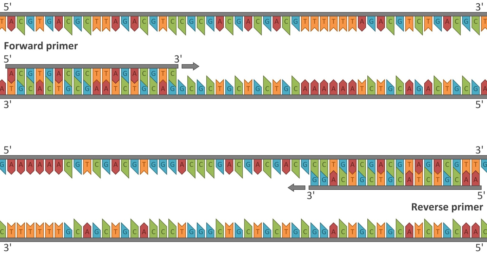 how much template dna for pcr - calculated images need to teach pcr