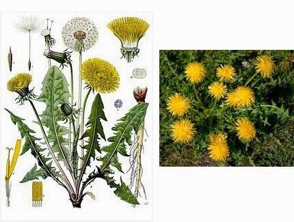dandelion herbal medicine