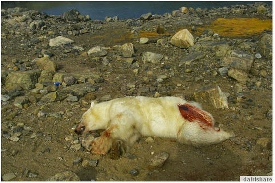 Gambar Lelaki Terkoyak Kulit Kepala Di Serang Beruang