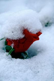 Fleur sous la neige - Berlin