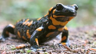 http://1.bp.blogspot.com/-vOyBNlSpwqA/VgC3xyo471I/AAAAAAAAFoI/o8elRXRuNhQ/s1600/Salamander+lizard.jpeg