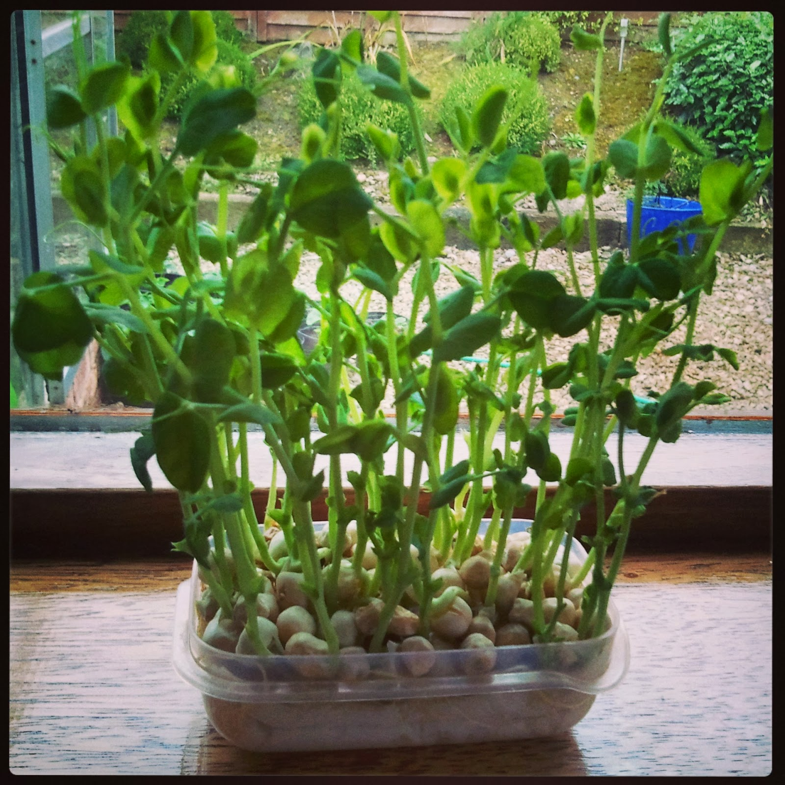 You Can Grow Your Own Groceries At Home From Old Kitchen: Stirring Food: GROW Your Own PEA SHOOTS