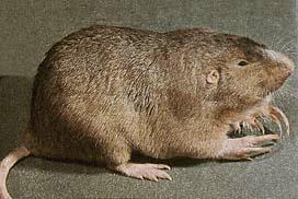 Holes in the yard - gophers, moles, voles, skunks ...