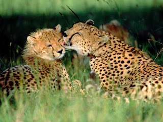 grooming cheetah