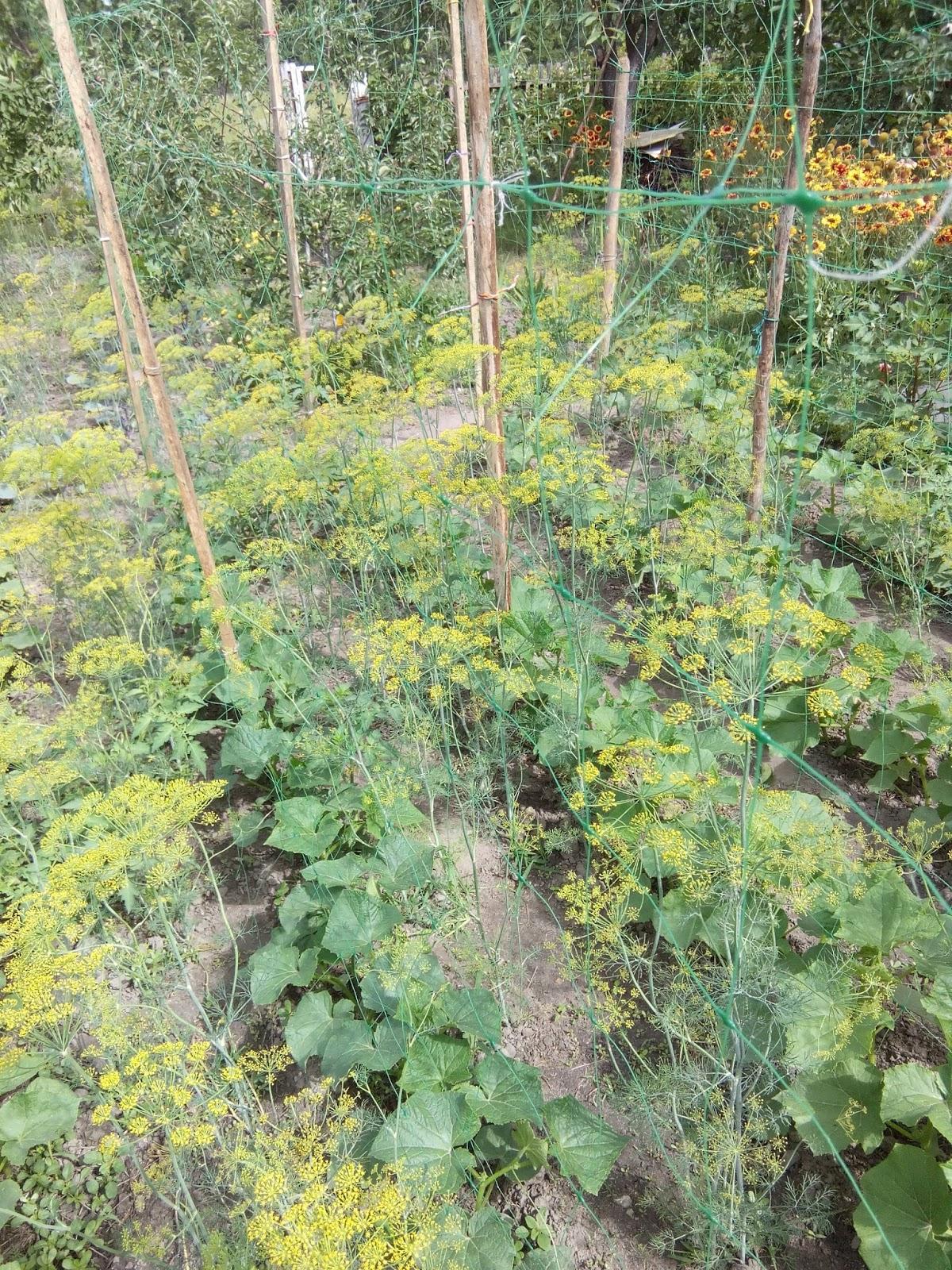 Использование сетки в выращивании огурцов 36