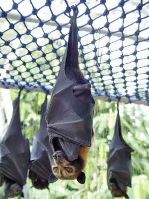 Conheça o incrível morcego gigante