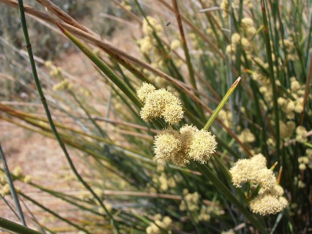 JUNCO: Scirpoides holoschoenus