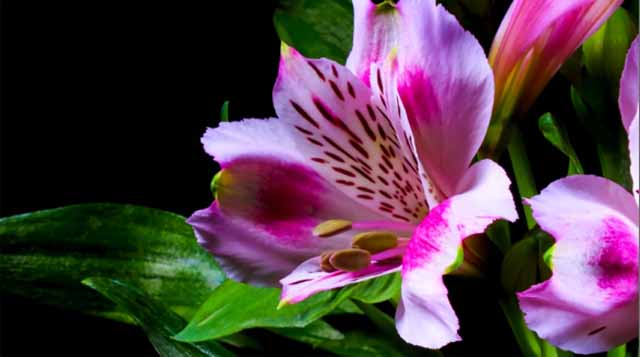 Impresionante timelapse muestra a flores en la floración
