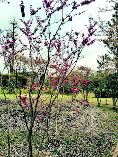 early blooming trees in spring in Japan