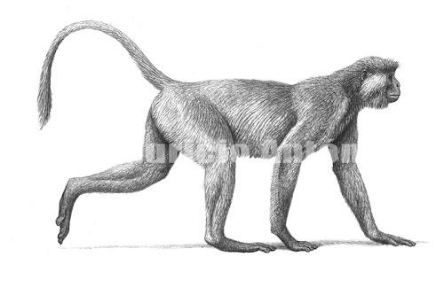 cercopitecos extintos Mesopithecus
