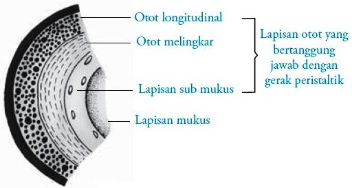 Struktur dan Fungsi Kerongkongan (Esofagus) Manusia
