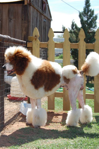 Huxtable The Poodle Toy Poodle Blog Parti Poodle Red