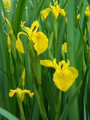 Iris pseudacorus Yellow Flag Iris by garden muses-not another Toronto gardening blog