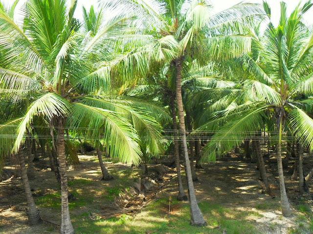 лес из кокосовых пальм на юге Индии