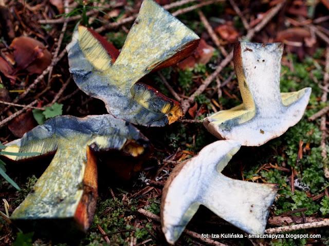 grubotrzonowiec , goryczak , grzyby gatunkami , atlas grzybów , mykologia , poznaj nowe gatunki , grzybobranie , las , prosto z lasu