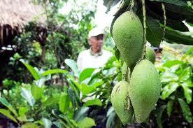 Pertanian Mangga Apel