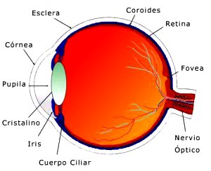 Dibujo partes del ojo - Vista