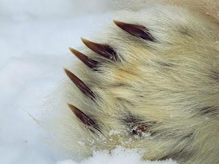 Foto Cakar Beruang Kutub