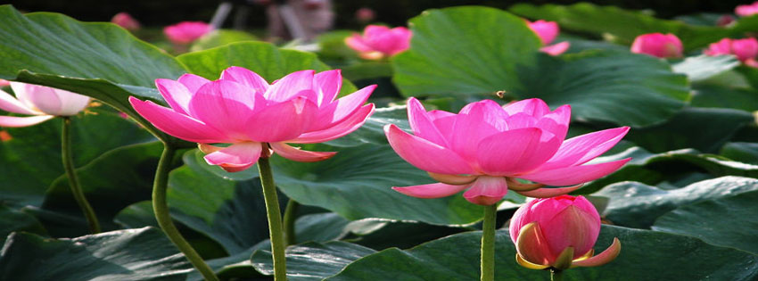 beautiful lotus flower facebook timeline cover  facebook timeline, Beautiful flower
