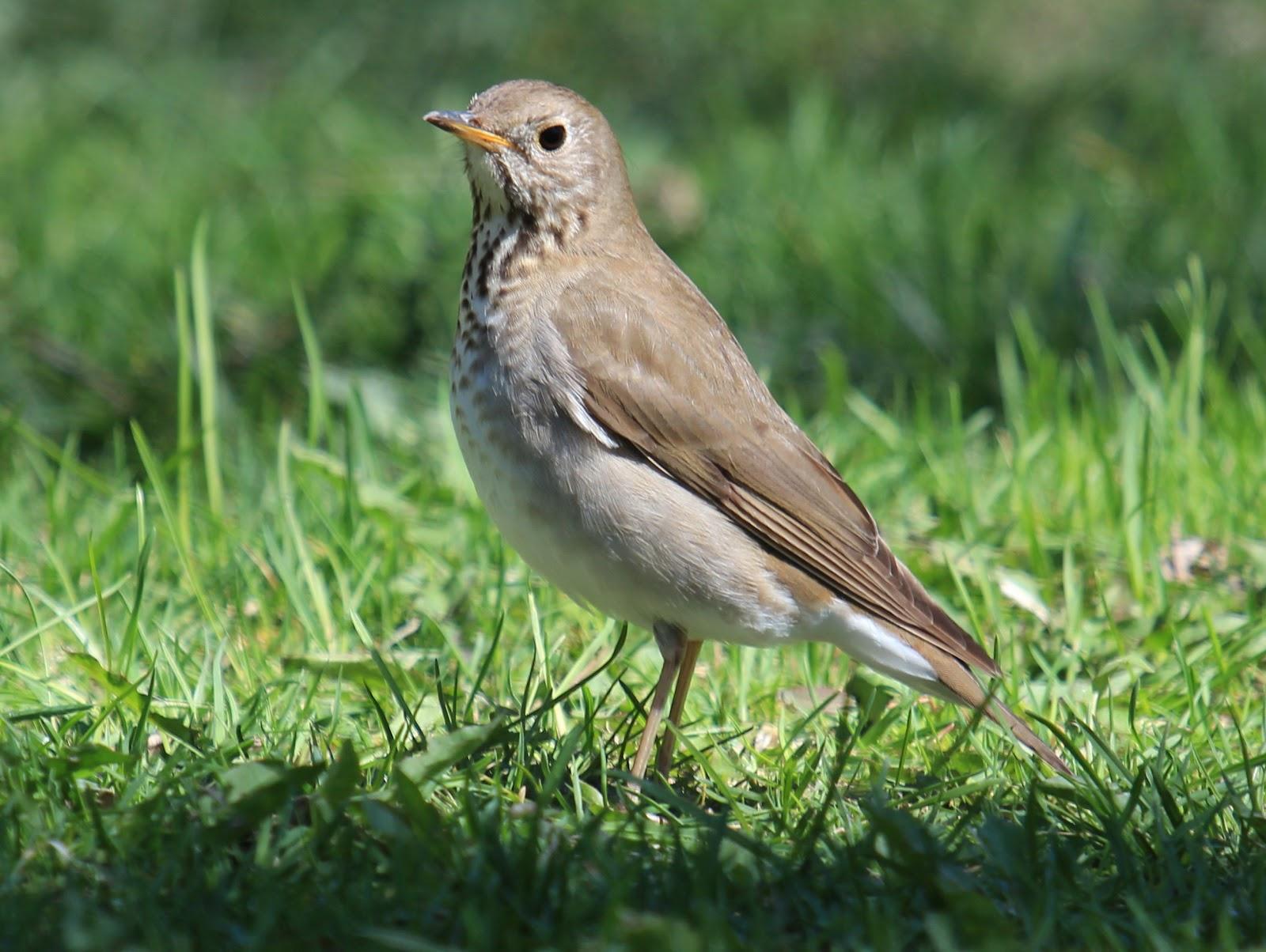 Gray-cheeked Thrush-robin relativeGray Cheeked Thrush