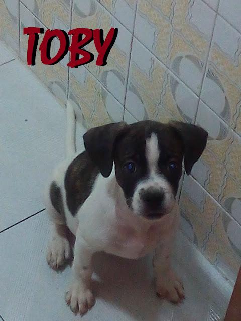 Adoptar un cachorro cachorros en adopci n toby cachorro - Bulldog frances gratis madrid ...