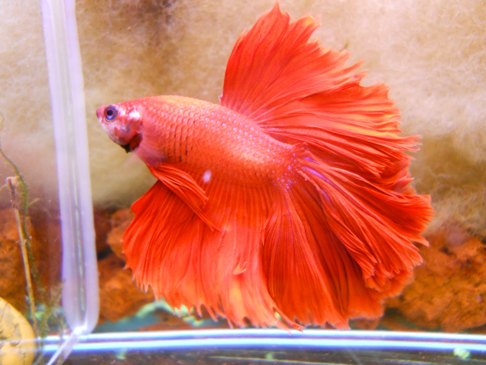 Betta Fish Tail Types and Patterns | Betta Fish Questions