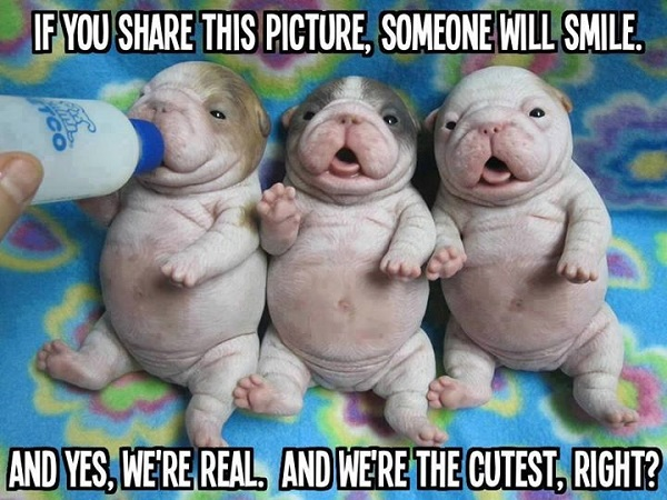 Cutest bulldog puppies