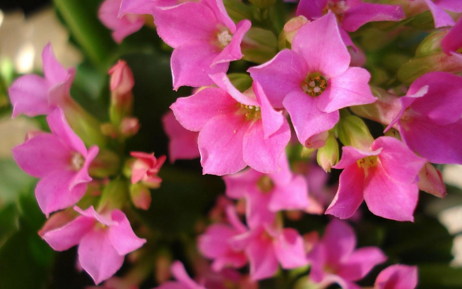 Wallpapernarium arbusto lleno de flores rosadas for Cuarto lleno de rosas