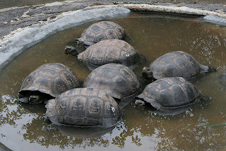 Tortoise Breeding Center Isabela Island, Galapagos